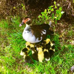 Jackie the Duck and her ducklings